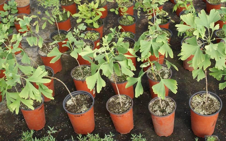 Как вырастить Гинкго Билоба в домашних условиях из семян или саженцев